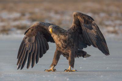 White Tale Eagle